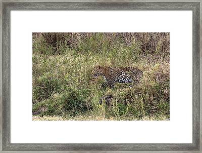 Leopard In The Grass Framed Print by June Jacobsen