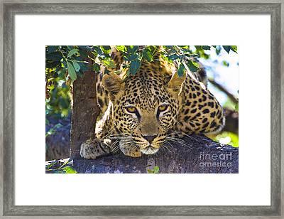 Leopard In Tree Framed Print