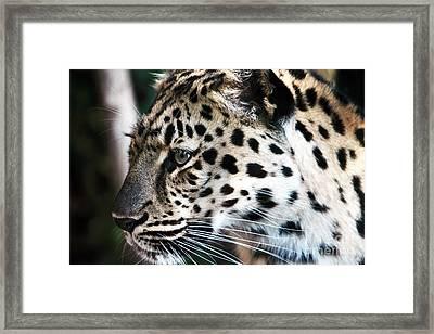 Leopard Framed Print by John Rizzuto