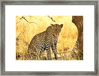 Leopard Framed Print by Kongsak Sumano
