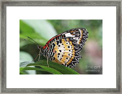 Leopard Lacewing Butterfly Framed Print by Judy Whitton