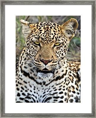 Wild Leopard In Botswana Framed Print by Liz Leyden