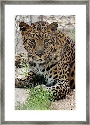 Leopard Lounging 1 Framed Print by Diane Alexander