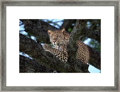 Leopard Male In A Tree In The Serengeti Framed Print by Maggy Meyer