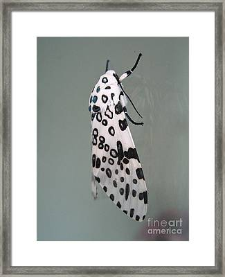 Leopard Moth Framed Print