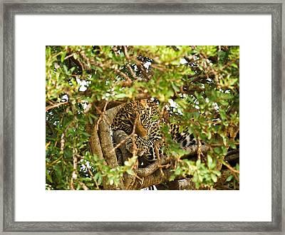 Leopard On Tree Framed Print by Kongsak Sumano