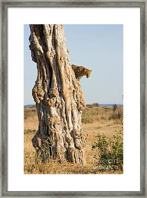 Leopard Panthera Pardus Descending Tree Framed Print by Gregory G. Dimijian, M.D.