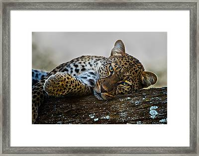 Leopard Panthera Pardus Lying Framed Print by Panoramic Images