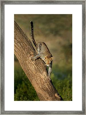Leopard Panthera Pardus On Tree, Ndutu Framed Print by Panoramic Images