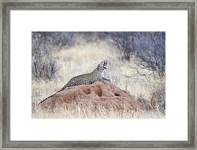 Leopard Panthera Pardus Yawning Framed Print by Panoramic Images