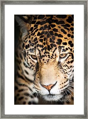 Leopard Resting Framed Print by John Wadleigh