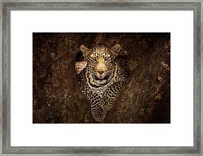 Leopard Resting On A Tree At Masai Mara Framed Print