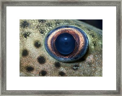 Leopard Sailfin Pleco Eye Abstract Framed Print by Nigel Downer