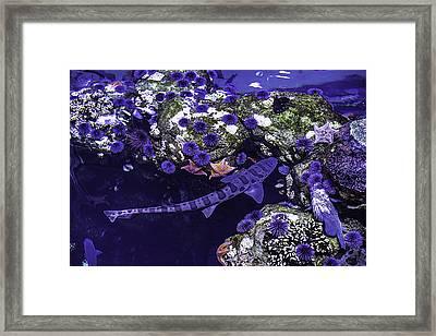 Leopard Shark Framed Print