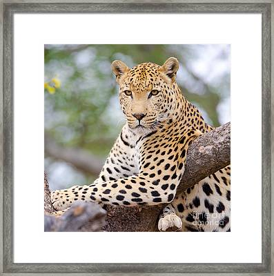 Leopard - South Africa Framed Print by Birdimages Photography