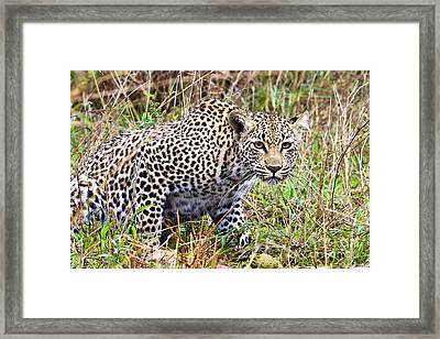 Leopard Stare Framed Print