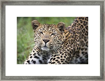 Leopard Stretching Sabi-sands Game Framed Print by Sergey Gorshkov