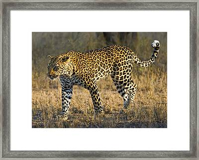 Leopard -the Elusive One Framed Print by Basie Van Zyl
