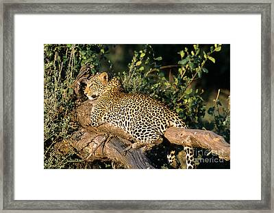 Leopard Framed Print by William H. Mullins