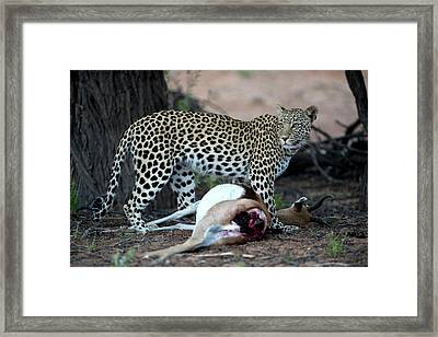Leopard With Springbok Prey Framed Print by Tony Camacho