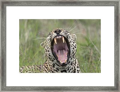 Leopard Yawning Sabi-sands Game Reserve Framed Print by Sergey Gorshkov