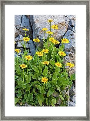 Leopardsbane (doronicum Grandiflorum) Framed Print by Bob Gibbons