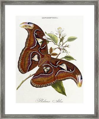 Lepidoptera Framed Print by Edward Donovan