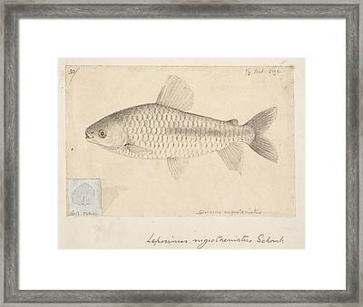 Leporinus Fish, Artwork Framed Print by Science Photo Library