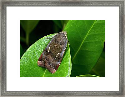 Lesser Broad-bordered Yellow Moth Framed Print by Nigel Downer