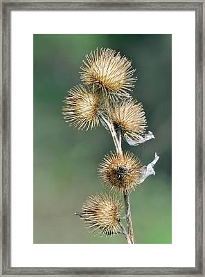 Lesser Burdock (arctium Minus) Seedheads Framed Print