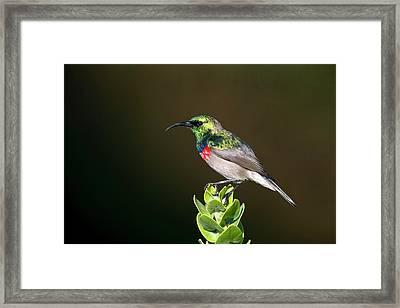 Lesser Double Collared Sunbird Framed Print