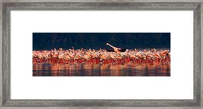 Lesser Flamingos Phoenicopterus Minor Framed Print