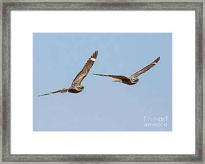 Lesser Nighthawk Framed Print by Carl Jackson