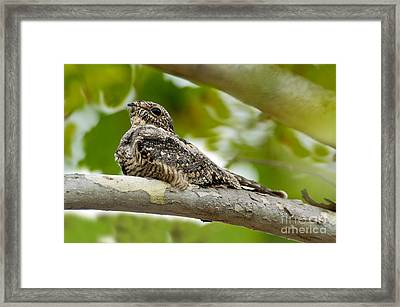 Lesser Nighthawk On Branch Framed Print by Anthony Mercieca