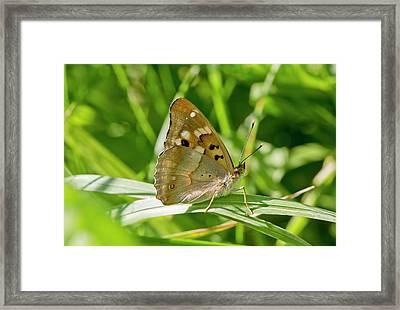 Lesser Purple Emperor Butterfly Framed Print