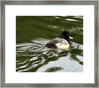 Framed Print featuring the photograph Lesser Scaup by Suzy Piatt