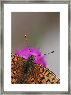 Lesser Spotted Fritillary Framed Print by Amos Dor