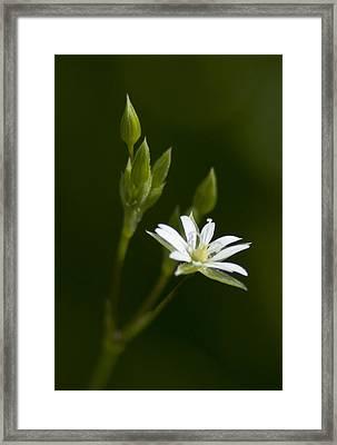 Lesser Stitchwort Framed Print