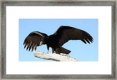 Lesser Yellow Headed Vulture Framed Print by Paulette Thomas