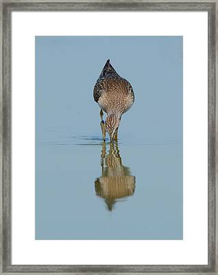 Lesser Yellowlegs Framed Print