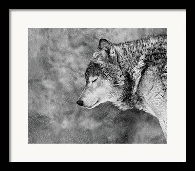 Furry Wolf Framed Prints