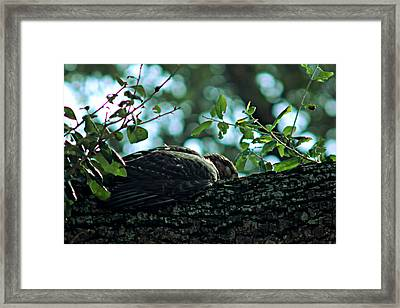 Let Sleeping Hawks Lie Framed Print