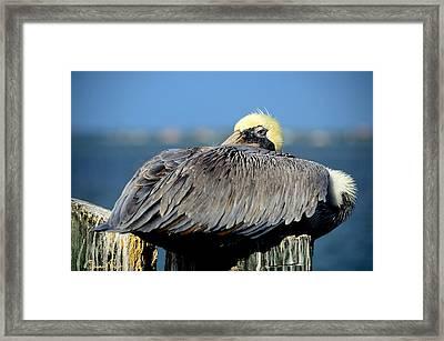 Let Sleeping Pelicans Lie Framed Print