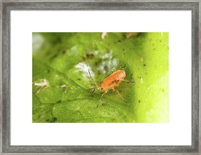 Lettuce Aphid Framed Print by Stephen Ausmus/us Department Of Agriculture