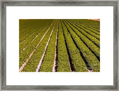Lettuce Farming Framed Print