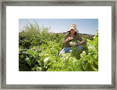 Lettuce Harvest Framed Print by Jim West