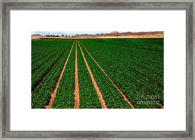 Lettuce Framed Print by Robert Bales