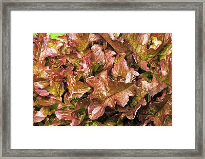 Lettuce 'salad Mix' Framed Print by Adrian Thomas