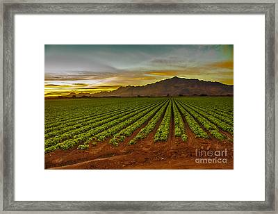 Lettuce Sunrise Framed Print by Robert Bales