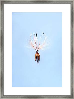 Leucadendron Rubrum Seed Framed Print